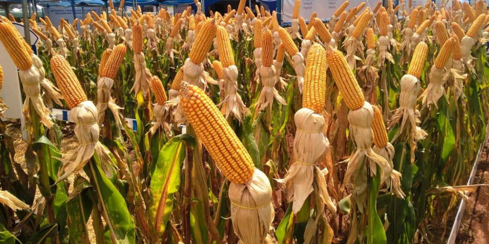 8º Fórum Nacional do Milho debate crescimento da demanda e incentivos ao plantio do grão